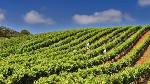 Collecting spectral data by hand is a time-consuming task for wine growers.