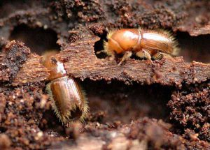 European spruce bark beetles.