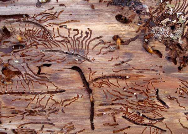 European spruce bark bettles destroying wood.