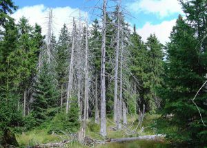 Unhealthy spruce trees.