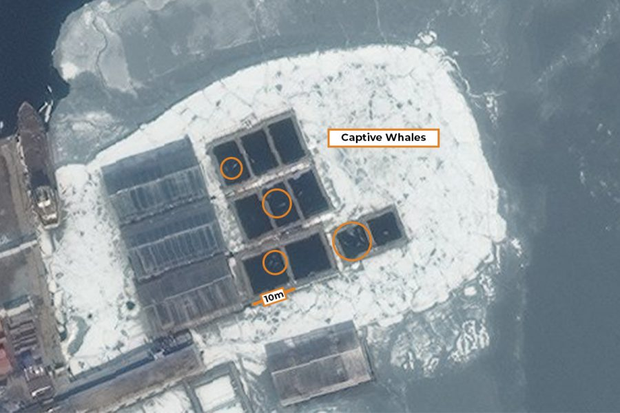 50 cm Resolution WorldView-2 image of whales held in captivity in Russia.
